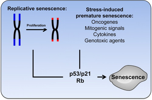 Assessing Cell and Organ Senescence Biomarkers | Circulation