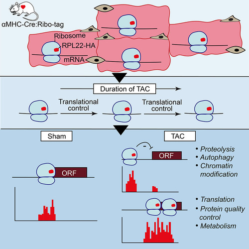 Monitoring Cell-Type–Specific Gene Expression Using Ribosome