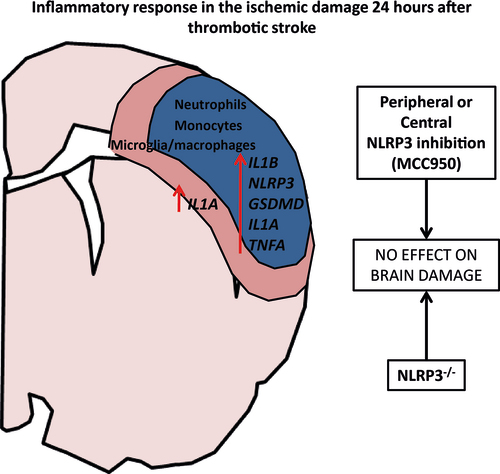 Extent of Ischemic Brain Injury After Thrombotic Stroke Is