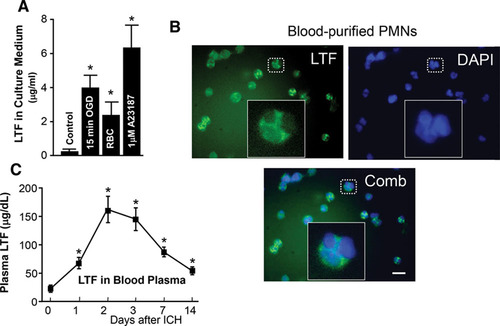 Beneficial Role of Neutrophils Through Function of