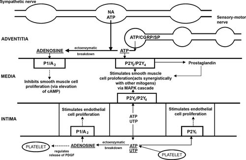 Purinergic Signaling in the Cardiovascular System   Circulation Research