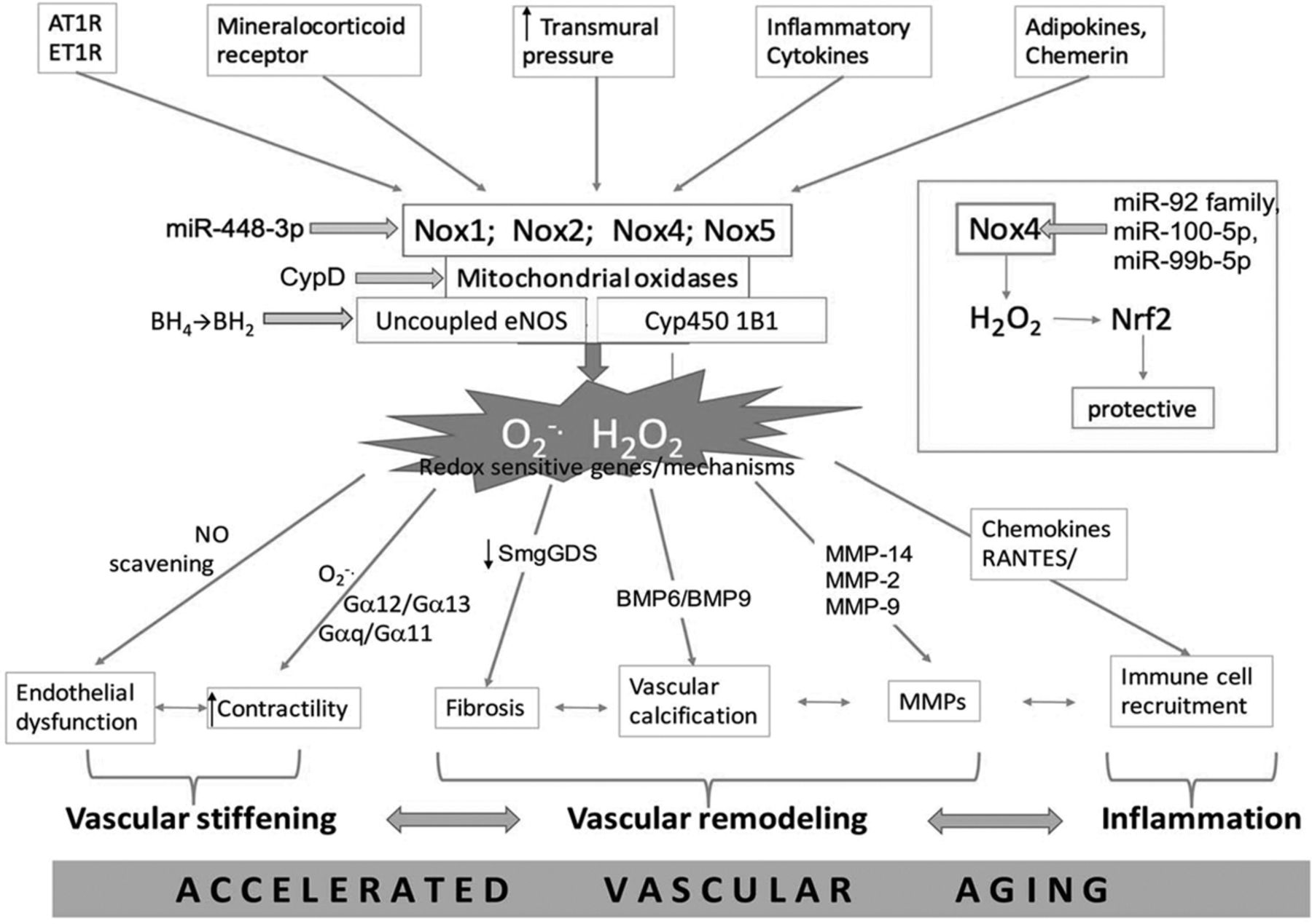 Oxidative Stress, Inflammation, and Vascular Aging in Hypertension