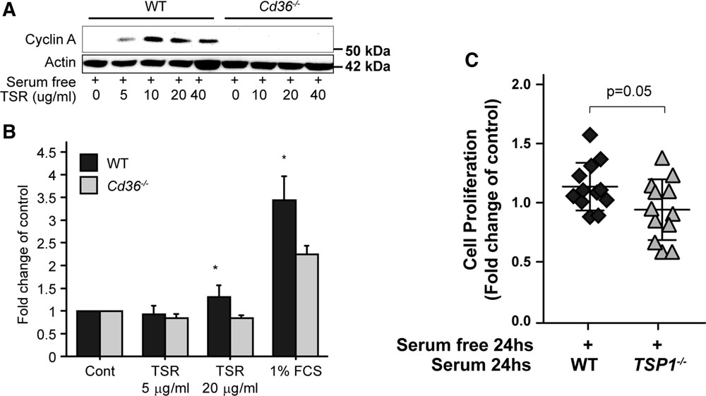CD36 Enhances Vascular Smooth Muscle Cell Proliferation and