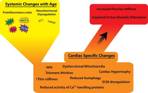 Heart Failure With Preserved Ejection Fraction | Circulation
