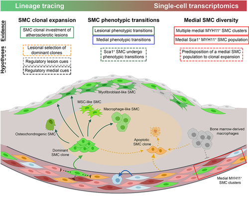Smooth Muscle Cell Phenotypic Diversity | Arteriosclerosis