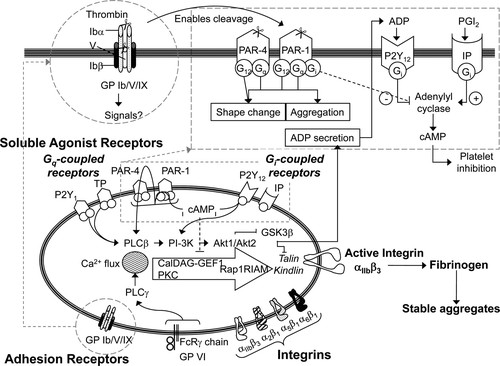 G Proteincoupled Receptors As Signaling Targets For Antiplatelet