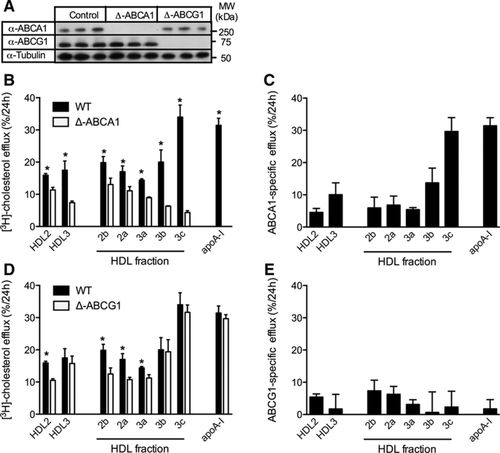 HDL Particle Size Is a Critical Determinant of ABCA1-Mediated