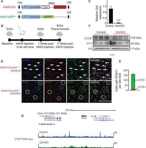 Robust CTCF-Based Chromatin Architecture Underpins