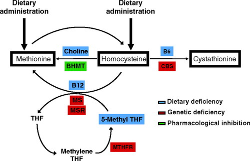 a91c75ad47 Murine Models of Hyperhomocysteinemia and Their Vascular Phenotypes ...
