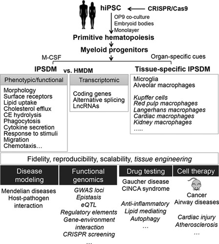 Unraveling Gene Environment Interaction >> Human Induced Pluripotent Stem Cell Derived Macrophages For