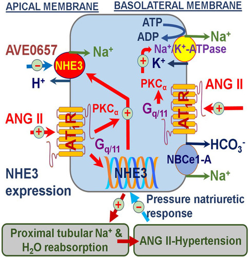 Proximal Tubule-Specific Deletion of the NHE3 (Na+/H+