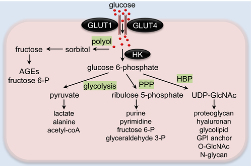 Glucose Metabolism in Cardiac Hypertrophy and Heart Failure