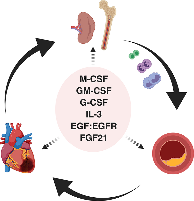 Growth Factors as Immunotherapeutic Targets in Cardiovascular