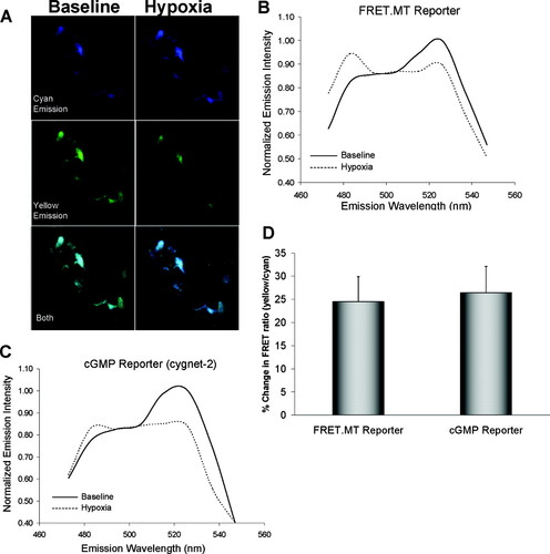 Nitric Oxide–Mediated Zinc Release Contributes to Hypoxic Regulation