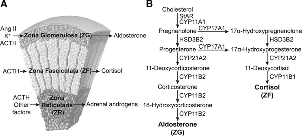 Aging and Adrenal Aldosterone Production | Hypertension