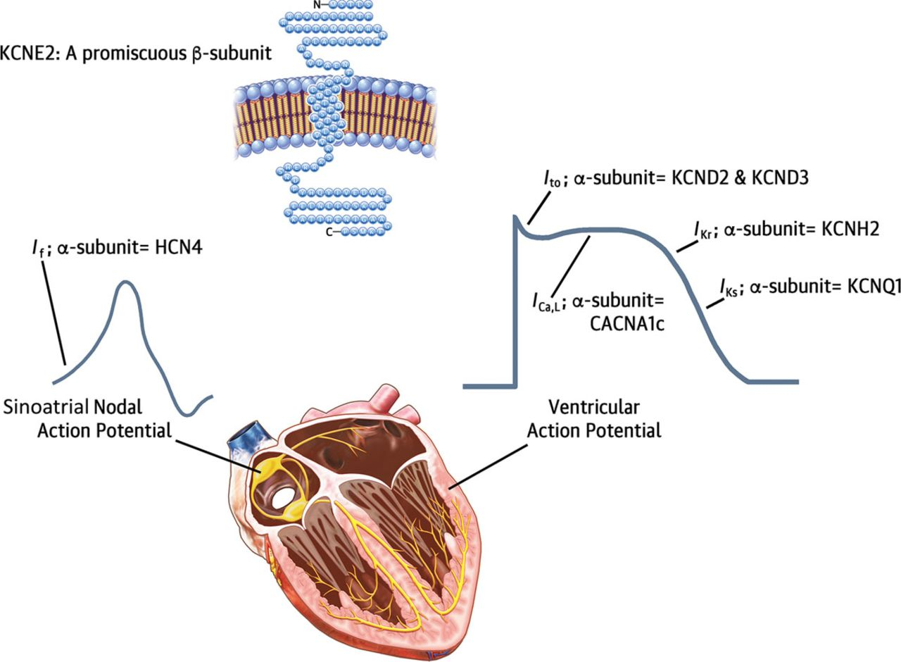Loss-of-Function KCNE2 Variants | Circulation: Arrhythmia and