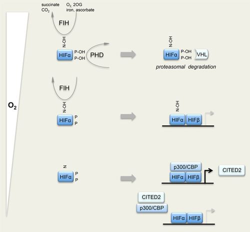 HIF Hydroxylase Pathways in Cardiovascular Physiology and Medicine
