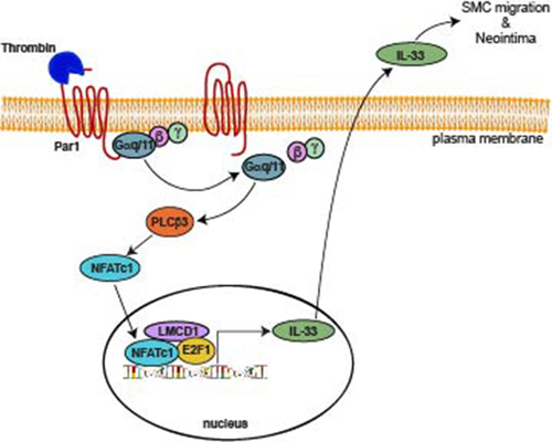 NFATc1-E2F1-LMCD1–Mediated IL-33 Expression by Thrombin Is