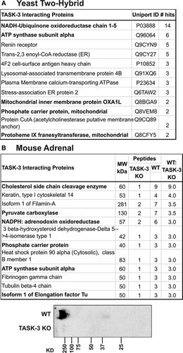 Functional TASK-3–Like Channels in Mitochondria of