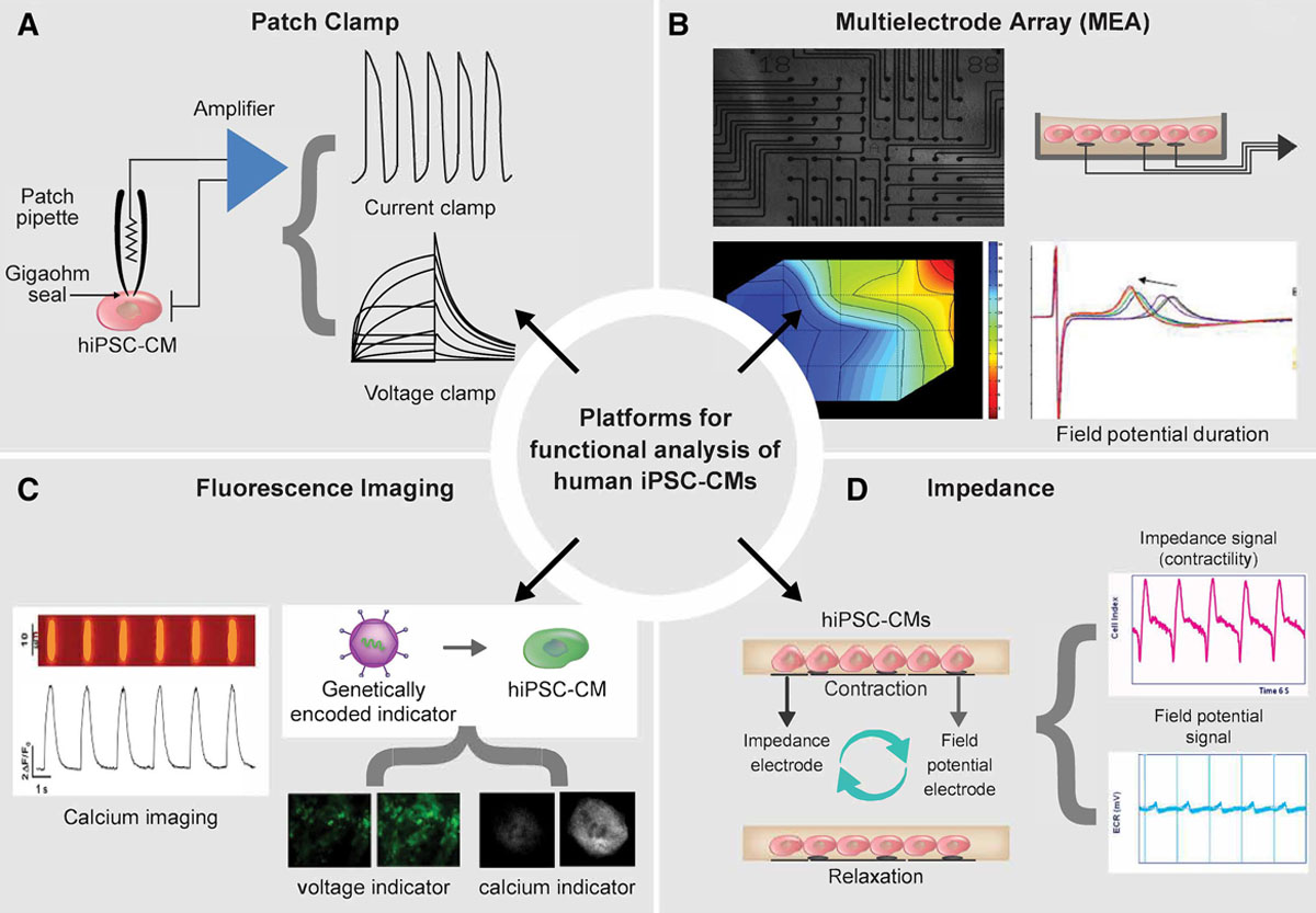 Human Induced Pluripotent Stem Cell–Derived Cardiomyocytes as Models