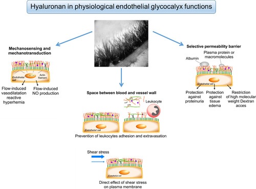 Endothelial Glycocalyx as a Shield Against Diabetic Vascular