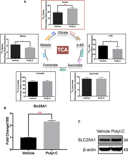 Glycolytic Switch Is Required for Transdifferentiation to