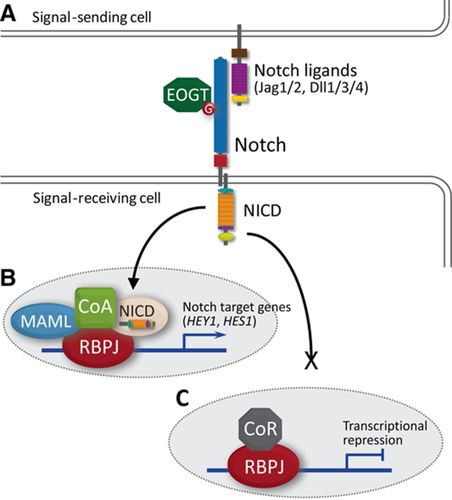 Haploinsufficiency Of The NOTCH1 Receptor As A Cause Of