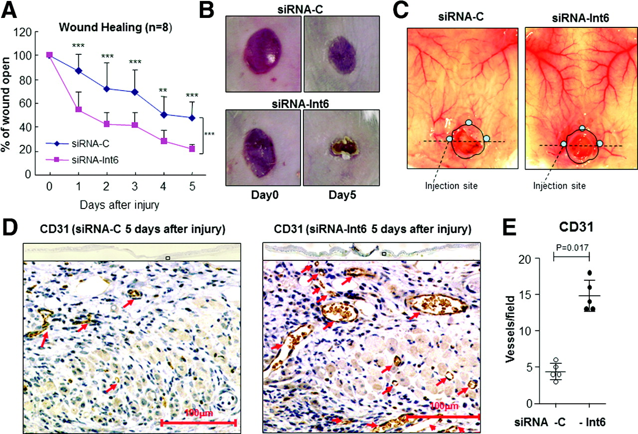 Int6/eIF3e Silencing Promotes Functional Blood Vessel
