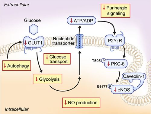 Endothelial Cell Autophagy Maintains Shear Stress–Induced Nitric