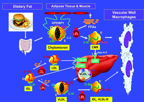 Triglycerides and Cardiovascular Disease | Circulation