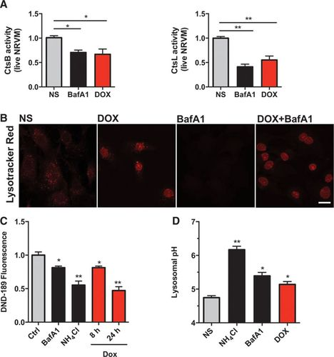 Doxorubicin Blocks Cardiomyocyte Autophagic Flux by