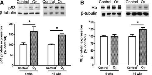 Transient Neonatal High Oxygen Exposure Leads to Early Adult Cardiac