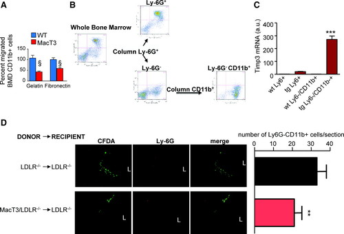 Overexpression of Tissue Inhibitor of Metalloproteinase 3 in