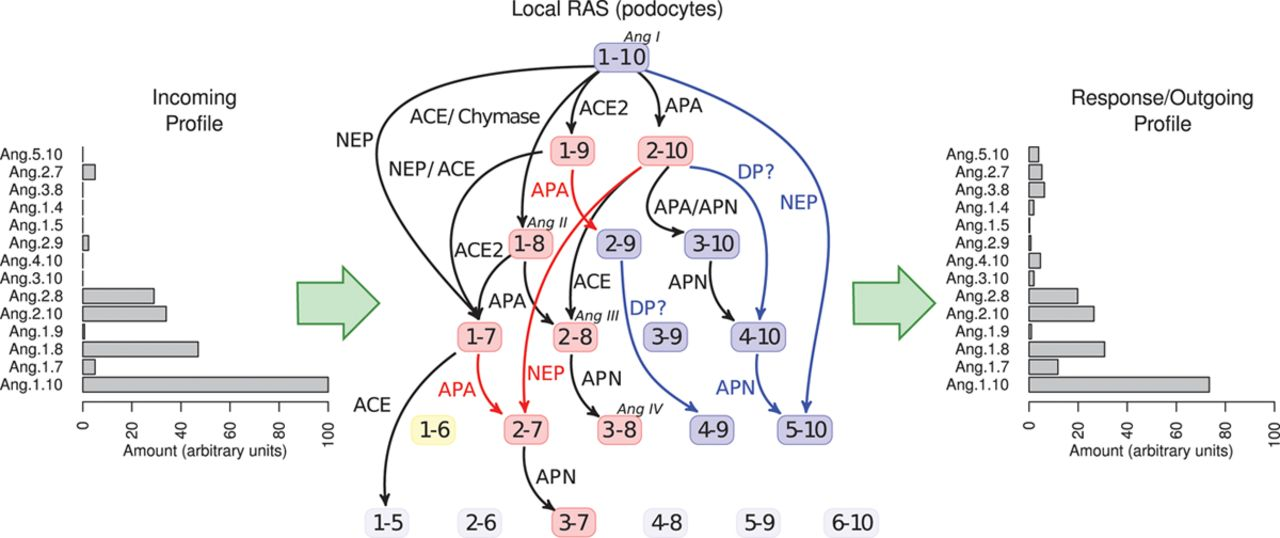 Network Modeling Reveals Steps in Angiotensin Peptide Processing