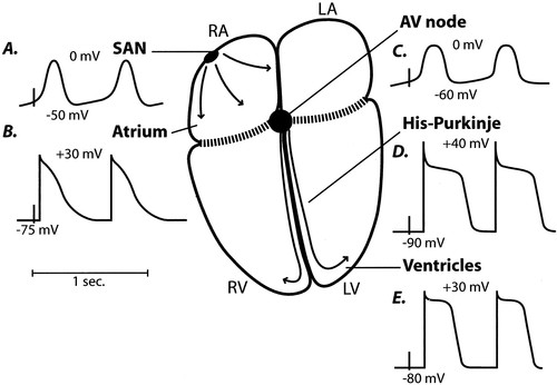 differential distribution of cardiac ion channel expression as a basis for regional