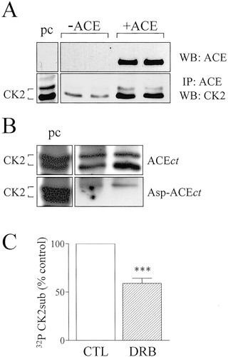 CK2 Phosphorylates the Angiotensin-Converting Enzyme and Regulates