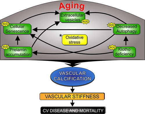 Multifaceted Mechanisms of Vascular Calcification in Aging