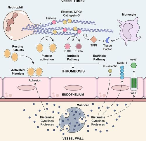 Mast Cell   Circulation Research