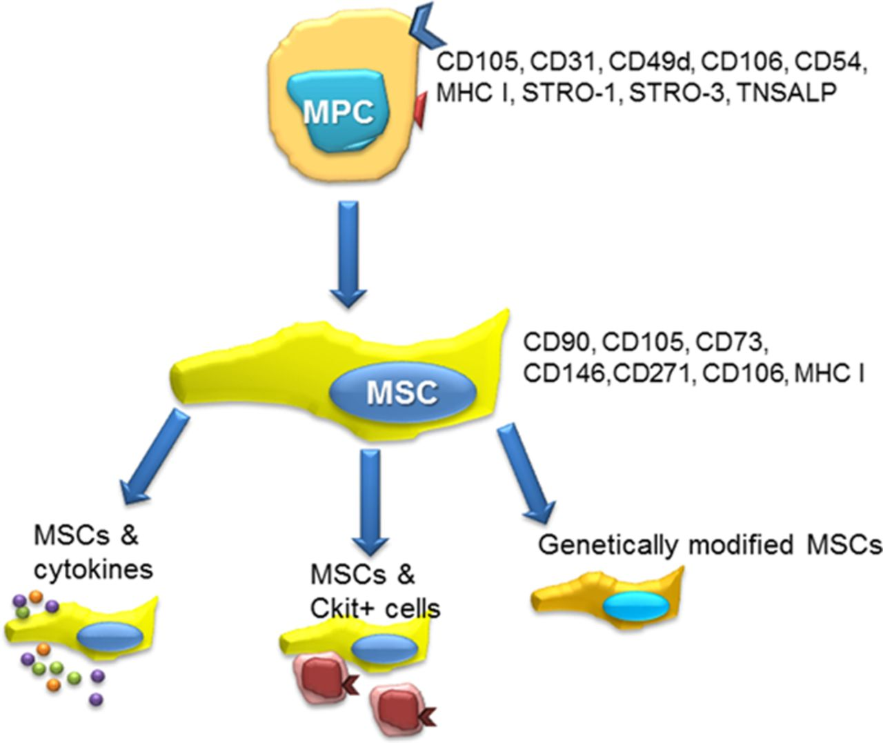 Use of Mesenchymal Stem Cells for Therapy of Cardiac Disease
