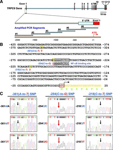 A Functional Single-Nucleotide Polymorphism in the TRPC6