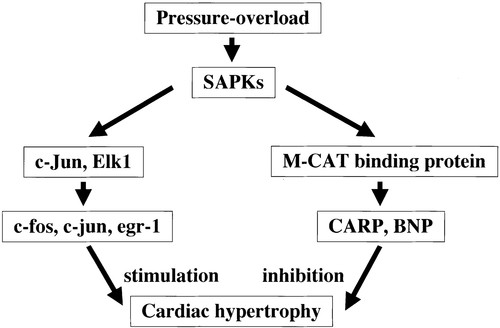 Cardiac Ankyrin Repeat Protein Is a Novel Marker of Cardiac