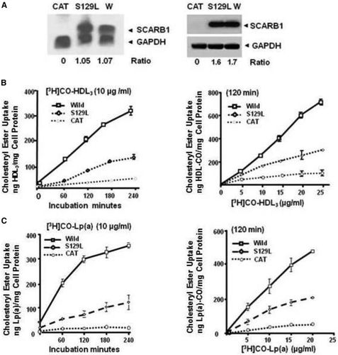 SCARB1 Gene Variants Are Associated With the Phenotype of