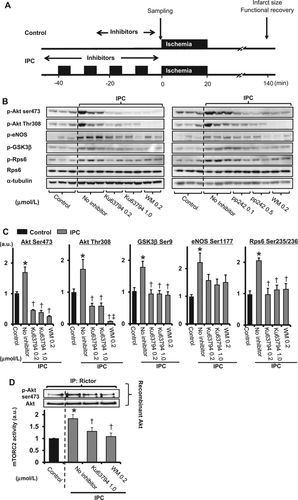 Pivotal Role of mTORC2 and Involvement of Ribosomal Protein