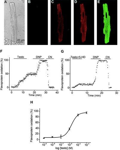 Testosterone Induces Cytoprotection by Activating ATP