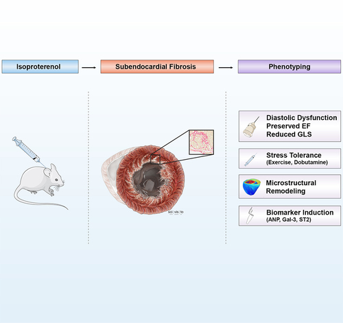Characterization of Myocardial Microstructure and Function