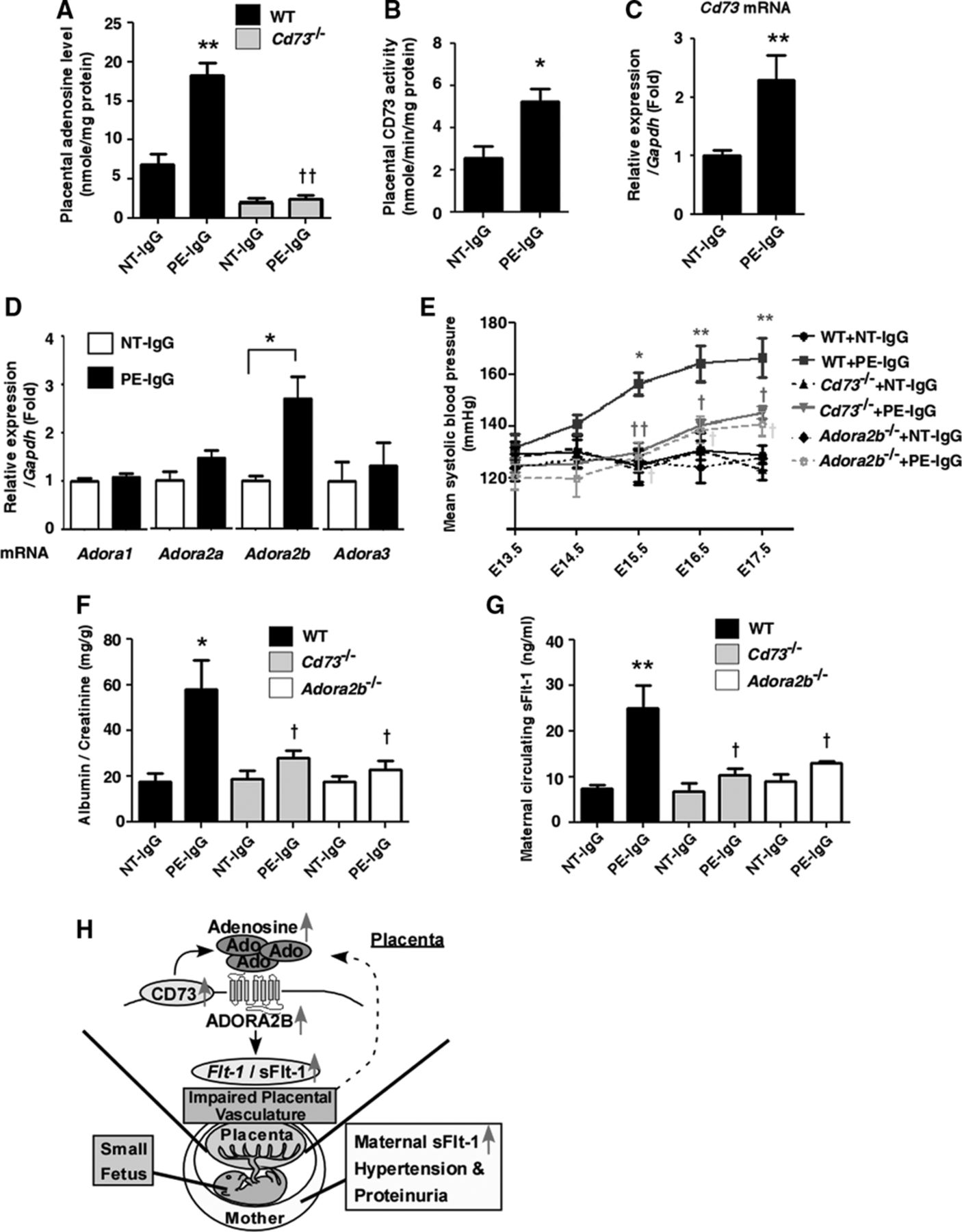 Elevated Placental Adenosine Signaling Contributes to the