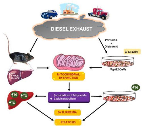 Diesel Exhaust Induces Mitochondrial Dysfunction