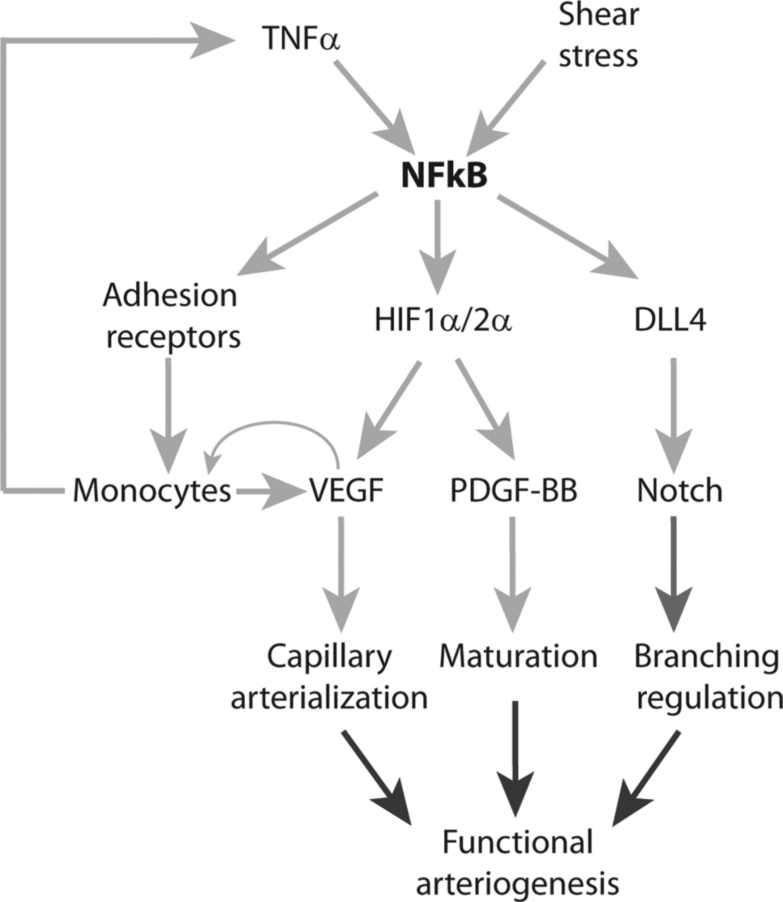 Endothelial Nuclear Factor-κB–Dependent Regulation of Arteriogenesis