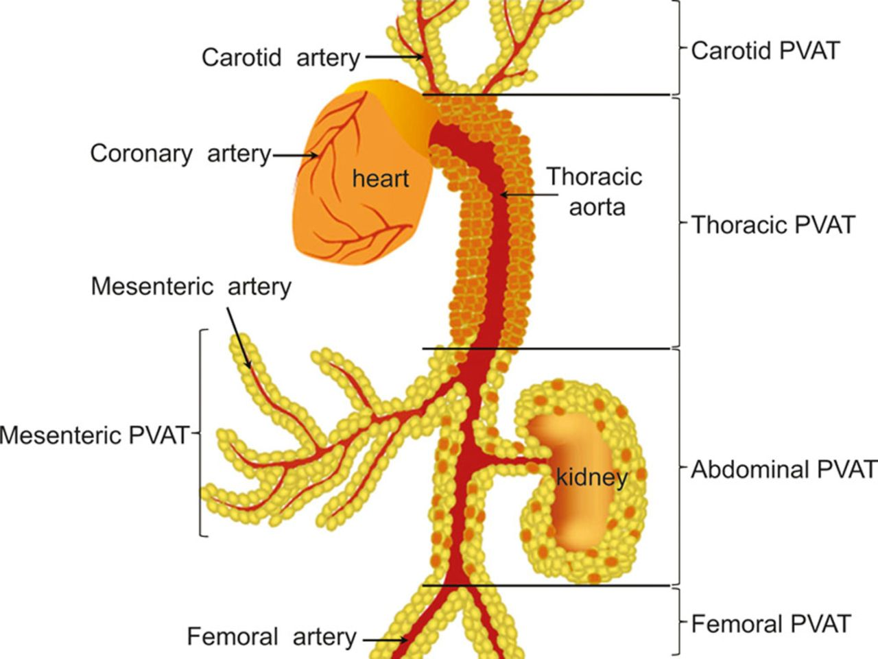 Perivascular Adipose Tissue in Vascular Function and Disease