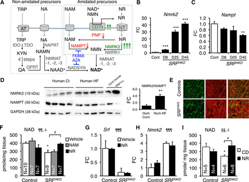 Nicotinamide Riboside Preserves Cardiac Function in a Mouse